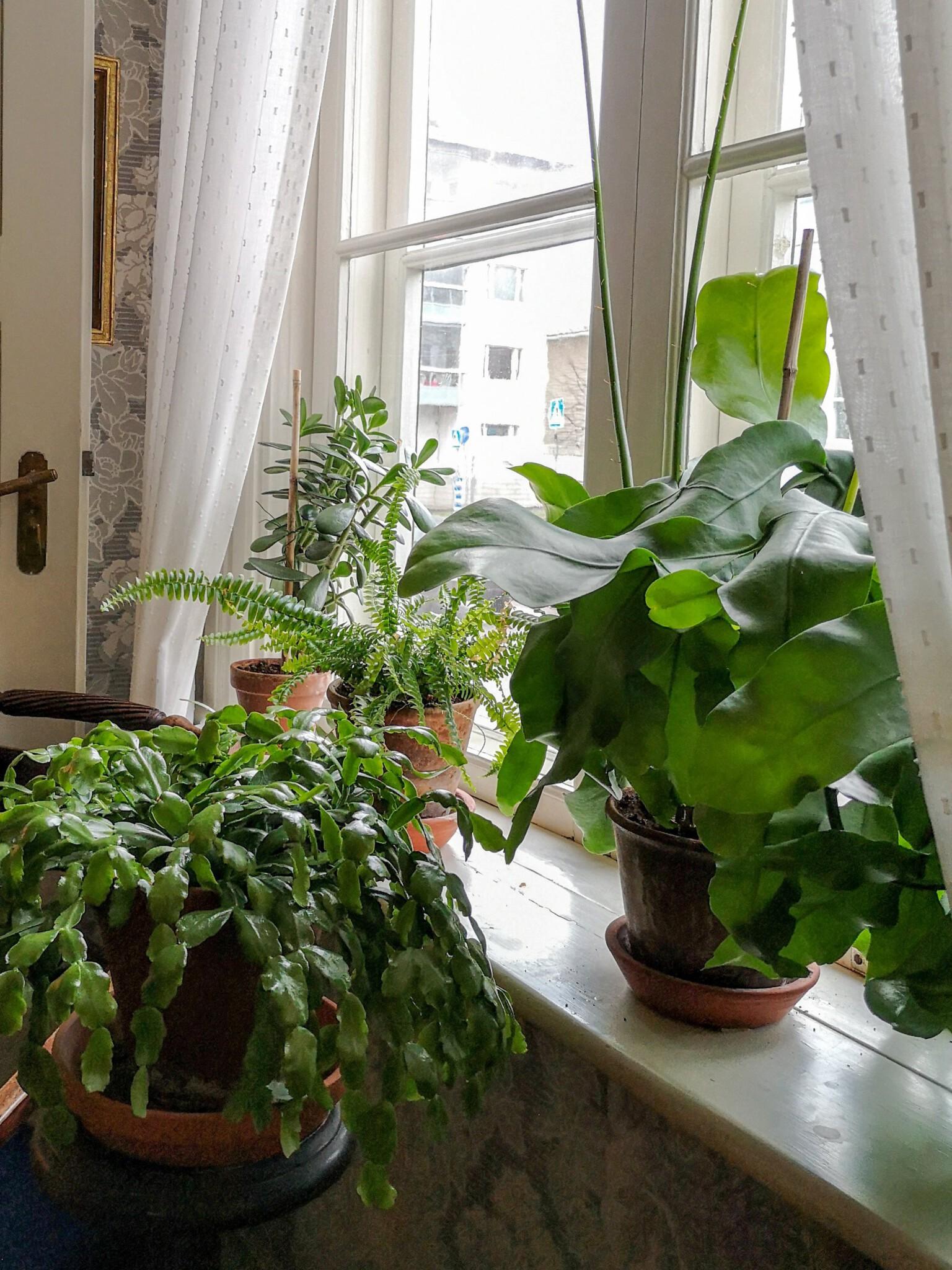 Viherkasvit viihtyvät Runebergin kotimuseon ikkunalaudoilla